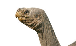 Giant turtle. Turtles are reptilescharacterised by a special bony Royalty Free Stock Photos