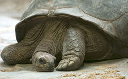 Giant turtle Royalty Free Stock Photos
