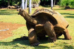Giant turtle Stock Image