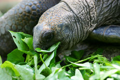 Giant Turtle Stock Photography