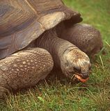 Giant turtle. Eating the grass Royalty Free Stock Photo
