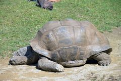 Giant turtle comes out of the water. A giant turtle bath and comes out of the water, photographic series Stock Image