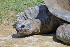 Giant turtle comes out of the water. A giant turtle bath and comes out of the water, photographic series Stock Images