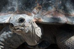 Galapagos Giant Turtoise stock photo