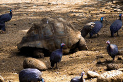 Giant turtle with birds around. In Mauritius, Casela Park stock image