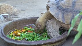 A turtle eating fresh vegetable morning glory. A giant turtle eating fresh vegetable morning glory stock footage