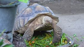 A giant turtle eating fresh vegetables and hiccup. In the zoo, 4k video footage stock video footage
