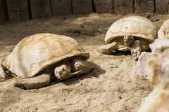 Giant Turtle Family Stock Photos