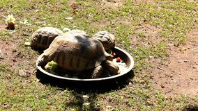 Giant turtle feeding time in yard stock footage