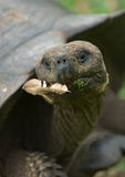 Giant turtle, galapagos islands Stock Photos