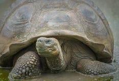 Giant turtle, Galapagos islands, Ecuador Royalty Free Stock Images