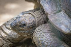 Giant turtle Royalty Free Stock Image