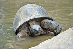 Giant turtle. In the water stock photo