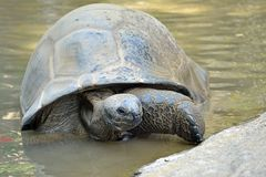 Giant turtle. In the water royalty free stock photography