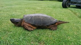 A giant turtle on a golf course stock image