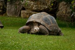 Giant turtle on the grass Stock Photo