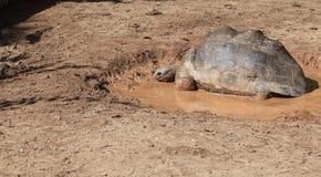 Giant turtle having mud bath Royalty Free Stock Photo