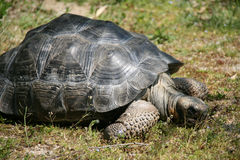 A giant turtle is living in a zoo in France Stock Images
