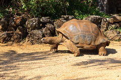 Giant turtle in Mauritius Stock Photography