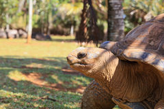 Giant turtle in Mauritius Royalty Free Stock Photos