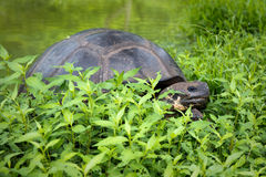 Giant Turtle Near Pond Royalty Free Stock Images