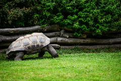 Giant turtle. Resting in green meadow Royalty Free Stock Photos