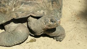 Giant turtle on the sand. Giant Galapagos turtle on the sand stock footage