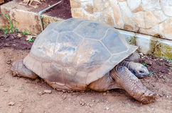 Giant turtle stretching on the ground Stock Photos
