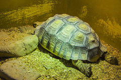 Giant turtle sunbathing Royalty Free Stock Photography