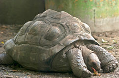 Giant Turtle Stock Images