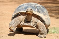 Giant Turtle. Walking `fast` on a sandy ground in a desert royalty free stock images