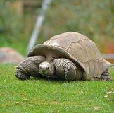 Giant turtle walking in the grass Royalty Free Stock Images