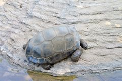 Giant turtle. In the water royalty free stock image