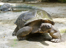 Giant turtle. The giant turtle at the zoo Royalty Free Stock Photography