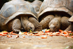 Giant turtles Stock Photos