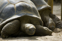 Giant turtles. Two giant turtles on sand Royalty Free Stock Image