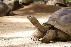 Giant turtles, dipsochelys gigantea in island Mauritius Stock Photo
