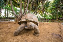 Giant turtles in La Vanille natural park, Mauritius stock photography
