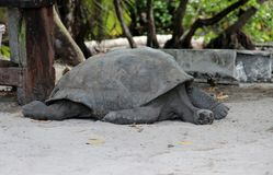 Giant turtles. Living in the Seychelles Islands royalty free stock photos