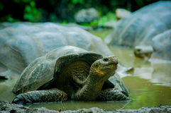 Giant turtles in san cristobal galapagos islands Royalty Free Stock Photography