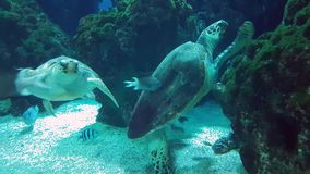 Giant Turtles Swimming Together stock video footage