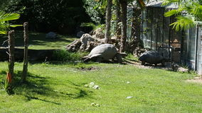 Giant turtles walking zoo safari. Giant turtles walking at zoo safari reserve stock video footage