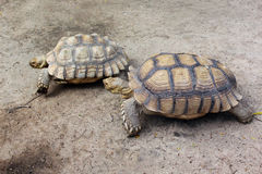 Giant turtles in zoo Stock Images