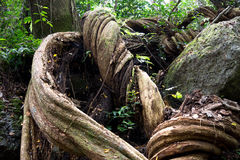 Giant twisted tree roots, Fiji. Giant tree roots on the surface in the highland jungle of Fiji Stock Photos