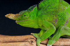 Giant two horned chameleon Royalty Free Stock Photography