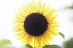A giant, vibrant yellow sunflower in the middle of a sunny summer day.  stock photo