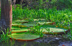 The Giant Victoria Amazonica (The Amazonia). The victoria amazonica (Giant Amazon water lily) is a typical water plant of the Amazon forest. It has an enormous stock photos