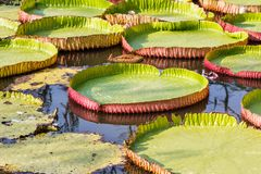 Giant Victoria waterlily. Stock Photos