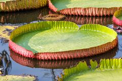 Giant Victoria waterlily. Royalty Free Stock Images