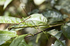Giant Vietnamese Walking Sticks Royalty Free Stock Images